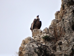 Griffon vulture_basquecountrywalks