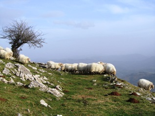 Sheep grazing just below the summit of Murumendi_basquecountrywalks