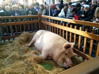 Maikruz, the 380-kilo pig and star attraction at the Santo Tomás Fair_basquecountrywalks