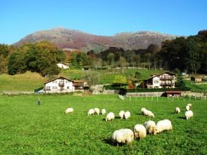 Day_7_Ituren_sheep